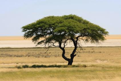 Ein Baum in der Savanne